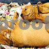 Rob Winner  -  rwinner@daily-chronicle.com<br /> <br /> Two Rottweiler and Pit Bull mixed puppies lay in a pen awaiting adoption at TAILS Humane Society in DeKalb, Ill. on Wednesday August 25, 2010.
