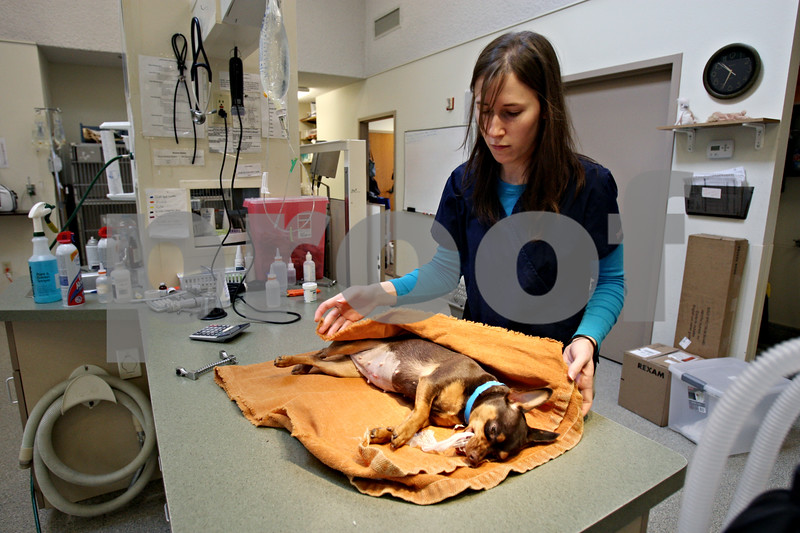 Rob Winner – rwinner@daily-chronicle.com<br /> Veterinary assistant Zoe Means, of Prairie View Animal Hospital in DeKalb, Ill., wraps up a Miniature Pinscher with a blanket after surgery on Wednesday February 17, 2010.