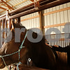 Beck Diefenbach - bdiefenbach@daily-chronicle.com<br /> <br /> Barn manager Abbie Jossart adjusts the saddler on Beau before giving a riding lesson at Runaway Ranch in Sycamore, Ill., on Tuesday March 9, 2010. Teaching riding lessons helps Jossart pay the costs for owning her own horse.