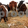 Beck Diefenbach  -  bdiefenbach@daily-chronicle.com<br /> <br /> Cattle are fed on the Knutson family farm in Malta, Ill., on Monday Feb. 1, 2010.