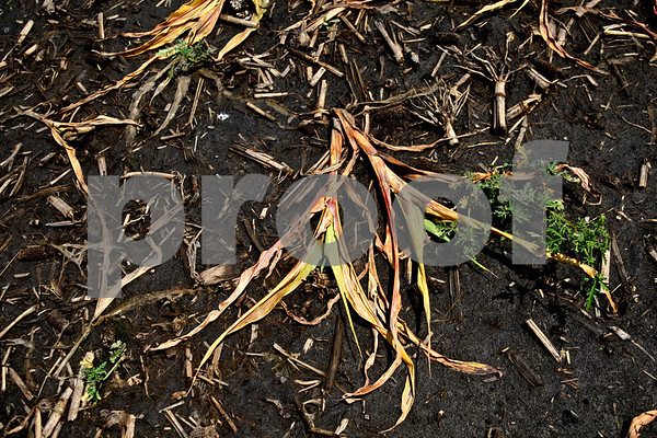 Beck Diefenbach  -  bdiefenbach@daily-chronicle.com<br /> <br /> Corn stalks flattened by the sitting water  in Leland, Ill., on Monday July 5, 2010.