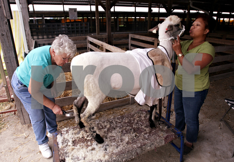 Beck Diefenbach – bdiefenbach@daily-chronicle.com<br /> <br /> (Left) Myrna Sanburg, of Gilson, and Carolyn Hart, of Marietta, begin to groom one of Sanburg's purebred oxford sheep in preparation for the open sheep show competition at the Sandwich Fair in Sandwich, Ill., on Monday Sept. 6, 2010.