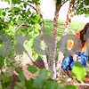 Kyle Bursaw – kbursaw@shawmedia.com<br /> <br /> Lauren Collins, of Waterman, trims off small branches from the trees in the front of Heritage Woods in DeKalb, Ill. on Thursday, Sept. 8, 2011, while volunteering on the Day of Caring sponsored by the Kishwaukee United Way.
