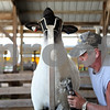Rob Winner – rwinner@shawmedia.com<br /> <br /> Steve Hart, of Marietta, trims one of his sheep in preparation for the open sheep show competition at the Sandwich Fair in Sandwich, Ill., on Monday, Sept. 5, 2011. The 124th annual Sandwich Fair begins this Wednesday and runs until Sunday.