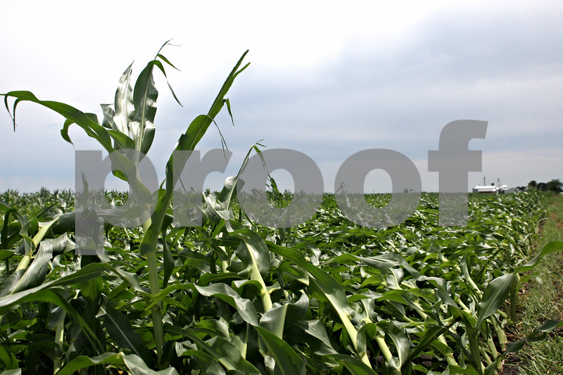 Rob Winner – rwinner@daily-chronicle.com<br /> <br /> A lone corn stalk stands in a field flattened by high winds that passed through Waterman on Monday morning.