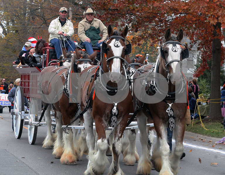 Wendy Kemp - For The Daily Chronicle<br /> The horses from Lake Run Farm in Batavia take part in the annual Pumpkin Parade in Sycamore on Sunday.<br /> Sycamore 10/30/11