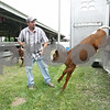 Rob Winner – rwinner@daily-chronicle.com<br /> <br /> Durand Pigott, of Malta, leads a shorthorn calf out of his trailer after arriving at the Sandwich Fairgrounds for the 4-H Livestock Fair on Friday afternoon.