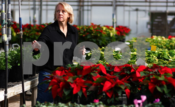 Kyle Bursaw – kbursaw@shawmedia.com<br /> <br /> Kim Mauthe reaches for a watering hose next to her poinsettias in a greenhouse at Kishwaukee College during her fall crops class on Tuesday, Nov. 1, 2011. Mauthe chose to go back to school in fall of 2007, eight years after she received her bachelor's degree, because she wanted to pursue a job that was more satisfying. She is set to graduate in May 2012 with associate's degrees in nursery, greenhouse and landscape design.