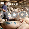 Kyle Bursaw – kbursaw@daily-chronicle.com<br /> <br /> Ed Arndt Jr. sprays a blue dye on pigs that are about the right size to be sold to various meat packers on Thursday, Jan. 20, 2011.
