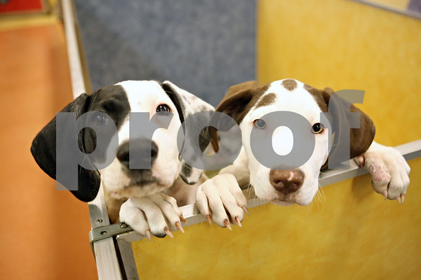 Rob Winner – rwinner@shawmedia.com<br /> <br /> A pair of German shorthaired pointer puppies look out from their pen at TAILS Humane Society in DeKalb on Friday afternoon.