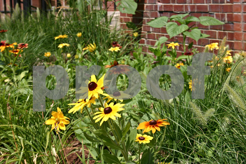 """Sunflowers bloom in a garden outside of the Neptune North residence hall at Northern Illinois University to honor Antinette """"Toni"""" Keller, a freshman art student who was killed last year.<br /> <br /> By Nicole Weskerna - nweskerna@daily-chronicle.com"""