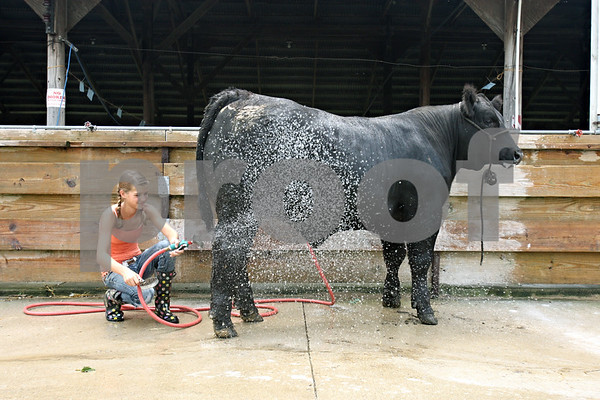 Rob Winner – rwinner@daily-chronicle.com<br /> <br /> 12-year-old Olivia Willrett, of Malta, hoses off an angus crossbred steer at the Sandwich Fairgrounds on Friday afternoon as the 4-H Livestock Fair gets underway.