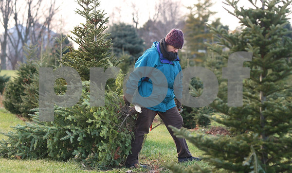 Kyle Bursaw – kbursaw@shawmedia.com<br /> <br /> Myrna Smar, of Sugar Grove, brings her tree back to her car at Camelot Christmas Tree Farm on Tuesday, Dec. 6, 2011.