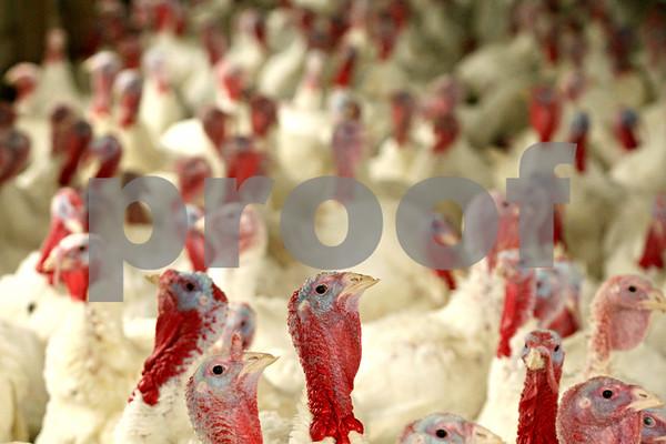 Rob Winner – rwinner@shawmedia.com<br /> <br /> Turkeys wait inside of a shelter at Kaufmann Turkey Farms in Waterman on Tuesday afternoon.