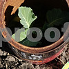 Rob Winner – rwinner@daily-chronicle.com<br /> <br /> A cabbage plant is protected from animals with an old coffee can on a rental garden plot maintained by Adam Brake.