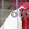 Rob Winner – rwinner@shawmedia.com<br /> <br /> A white plymouth cockerel peers out a cage within the Horse Barn where the poultry is kept at the Sandwich Fairgrounds in Sandwich, Ill., on Monday, Sept. 5, 2011. The 124th annual Sandwich Fair begins this Wednesday and runs until Sunday.