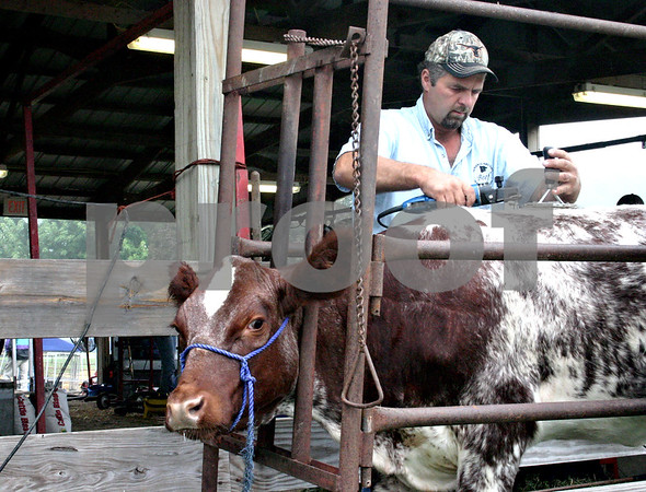 Jake Cooper of Yorkville trims the hair of his shorthorn heifer before animal judging at the Sandwich Fair Saturday morning. <br /> <br /> By NICOLE WESKERNA - nweskerna@shawmedia.com