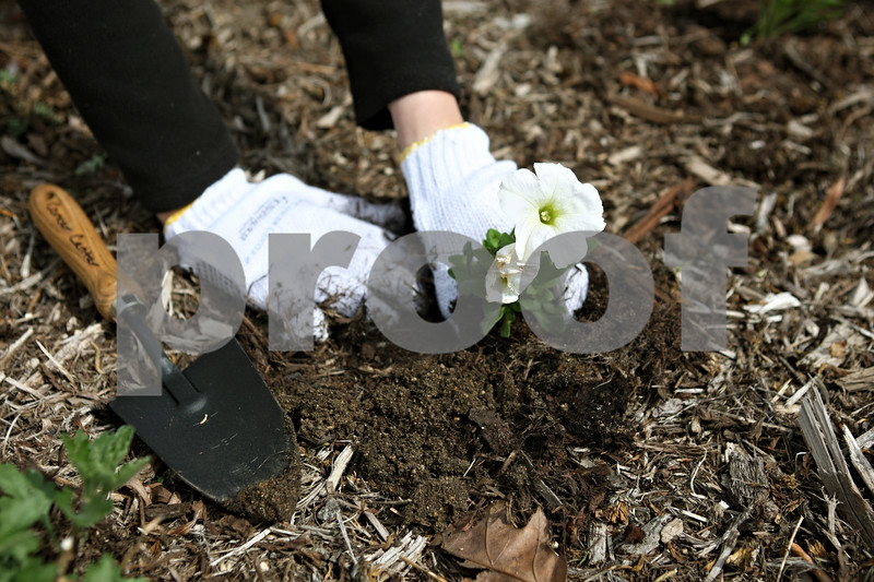 Rob Winner – rwinner@daily-chronicle.com<br /> <br /> Nidhie Singh plants a flower outside the Cancer Center at Kishwaukee Hospital in DeKalb on Monday afternoon.