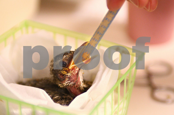 Kyle Bursaw – kbursaw@daily-chronicle.com<br /> <br /> Jon Bockman feeds a baby robin at Wild TAILS in DeKalb, Ill. on Thursday, July 21, 2011.