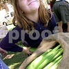 Chronicle photo KATE WEBER<br /> Volunteer stand assistant Ellee Holden, 8, of Genoa attempts to break off an extra-long end of a corn husk while bagging sweet corn by the dozen at the Genoa Summer Produce Stand. Holden's grandmother, Phyllis Hodgson, is a member of the Faith United Methodist Church and one of dozens of volunteers who work the stand to raise money for the church.