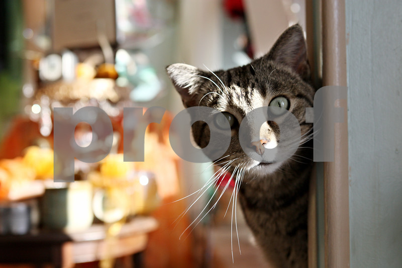 Rob Winner – rwinner@daily-chronicle.com<br /> <br /> Puddy, a mackerel tabby cat, peaks around a corner at Déesse The Sycamore Boutique on Friday afternoon. John and Angela Nielsen, owners of Déesse, have been taking care of the cat for about five years.