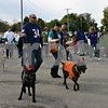 Bobby and Rebecca Hirst of DeKalb walk their dogs Sox and Brady - both wearing devil horns - Sunday during Mutt Strut, a fundraiser for TAILS Humane Society, as part of the 30th annual Cortland Parade and Festival. More than 50 dogs took part in the event.<br /> <br /> Caitlin Mullen - cmullen@shawmedia.com