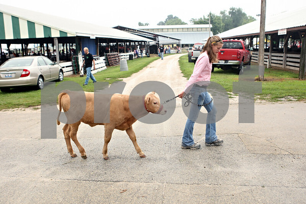 Rob Winner – rwinner@daily-chronicle.com<br /> <br /> Katie Arndt, 14, of Malta, exercises her bucket calf Charlie at the Sandwich Fairgrounds on Saturday during the 4-H Livestock Fair.