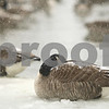 Kyle Bursaw – kbursaw@shawmedia.com<br /> <br /> A goose tries to keep warm on the frozen part of the East Lagoon on Friday, Jan. 20, 2012.