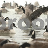 Kyle Bursaw – kbursaw@shawmedia.com<br /> <br /> A goose flaps its wings in the East Lagoon on the NIU campus on Friday, Jan. 20, 2012.