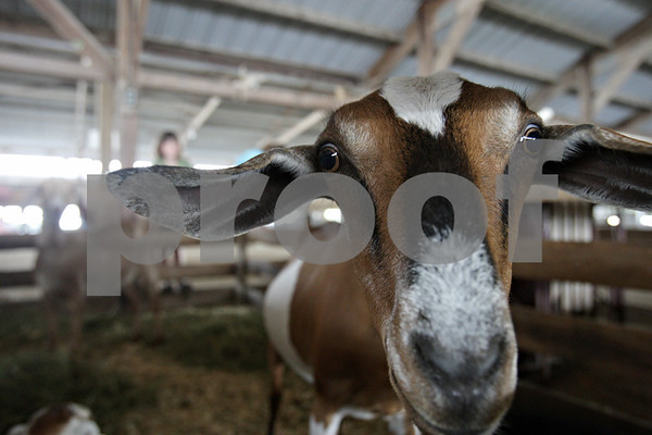 Rob Winner – rwinner@shawmedia.com<br /> <br /> A goat that is three-quarters Nubian and one-quarter Lamancha, raised by Kylie Ocker of Sycamore, peers out from its pen during the DeKalb County 4-H Fair at the Sandwich Fairgrounds Saturday morning.