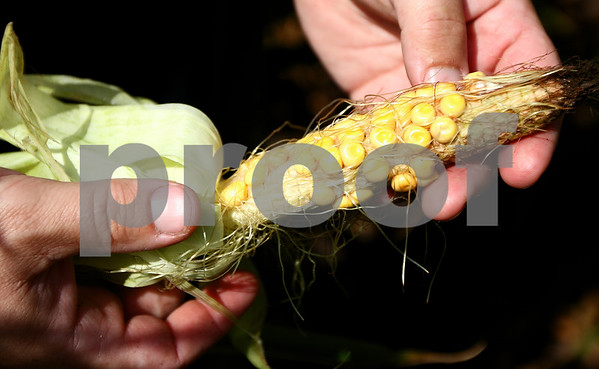 Kyle Bursaw – kbursaw@shawmedia.com<br /> <br /> DeKalb farmer Jamie Walter shows an ear of corn with incomplete pollination from one of his fields on Tuesday, Aug. 14, 2012.