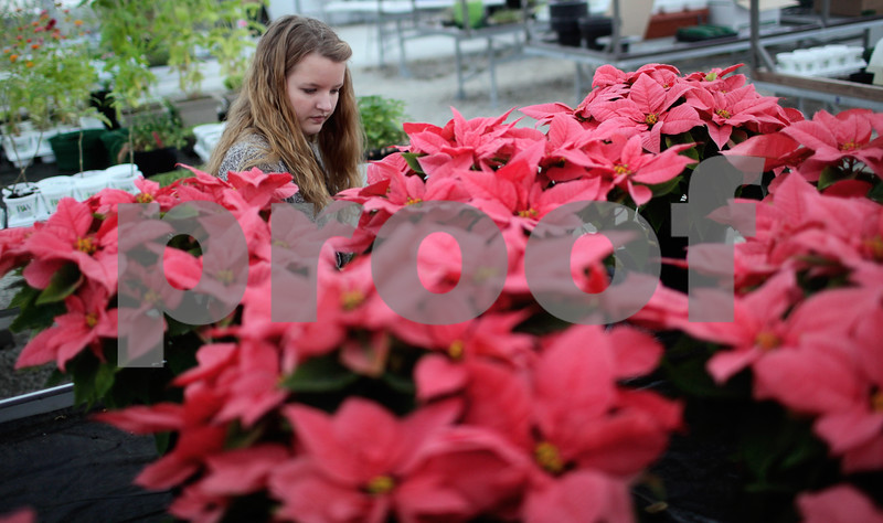 Kyle Bursaw – kbursaw@shawmedia.com<br /> <br /> Sarah Peterson, an agriculture teacher at DeKalb High School, cleans up the table of poinsettias for sale in the school greenhouse on Monday, Dec. 10, 2012. A limited number of poinsettias are still available for $20 in red and pink by calling 815-754-2100 and asking for Peterson.