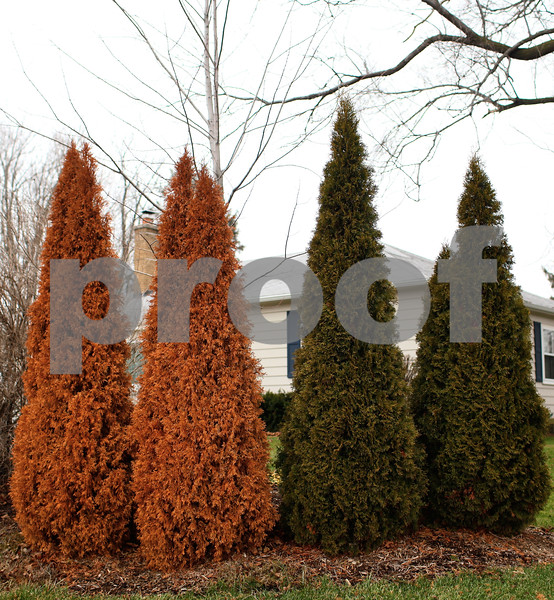 Kyle Bursaw – kbursaw@shawmedia.com<br /> <br /> A likely consequence of this year's drought combined with no other source of water, two of these four evergreen trees near a Sycamore home have died.<br /> <br /> pictured on Monday, Dec. 17, 2012.