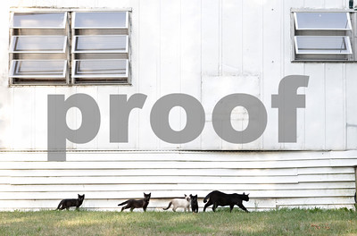 Rob Winner – rwinner@shawmedia.com  A family of feral cats walk along side a trailer home at Evergreen Village in Sycamore Thursday.