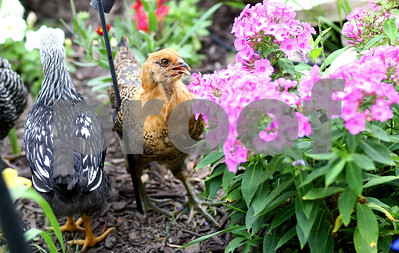 Kyle Bursaw – kbursaw@shawmedia.com  A few of the chickens belonging to Brandon and Tiffany Wiegartz roam in the flower bed in the backyard of their Kirkland home on Thursday, June 28, 2012.