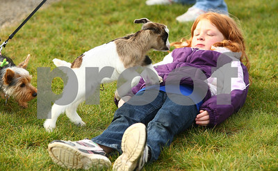Kyle Bursaw – kbursaw@shawmedia.com  Seven-year-old Mackenzie McConell lays flat, trying to coax Prim, a one-day-old goat, to climb on top of her behind the Genoa-Kingston softball team's dugout. Mackenzie's sister is on the team and the family brought the goat so they could feed it at the game. Genoa-Kingston lost 7-5 to Marengo in Genoa, Ill. on Tuesday, May 1, 2012.