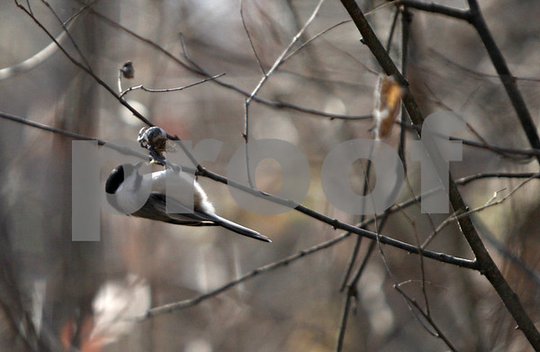 Rob Winner – rwinner@shawmedia.com<br /> <br /> A Black-capped Chickadee hangs from a branch as seen at the Prairie Oaks Forest Preserve in Kingston, Ill., Saturday, Nov. 17, 2012.