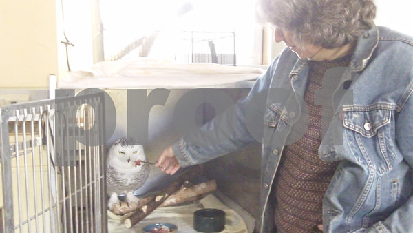 Christy Gerbitz, the operations manager at Oaken Acres Wildlife Center in Sycamore, feeds Frosty the snowy owl. Frosty was found lying on the ground in DeKalb, severly malnourished and dehydrated. The center is taking care of him until he gets better.