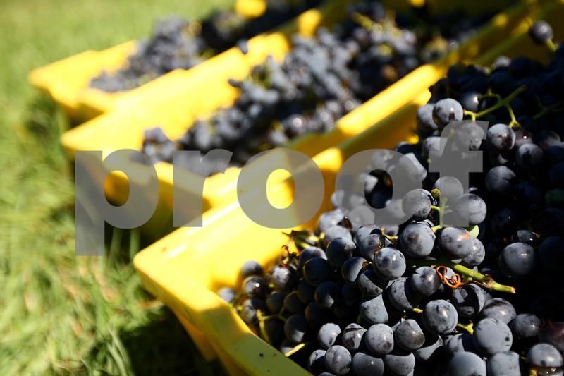 Kyle Bursaw – kbursaw@shawmedia.com<br /> <br /> Bins of freshly-picked concord grapes in one of Waterman Winery's vineyards wait to be picked up for their next step in the wine-making process, being de-stemmed and crushed on Monday, Sept. 10, 2012. Waterman Winery owners say that hot and dry weather from the summer drought may lead to more concentrated grapes and better-than-usual wine, but they wont know for sure until the wine is completed more than a year from now.