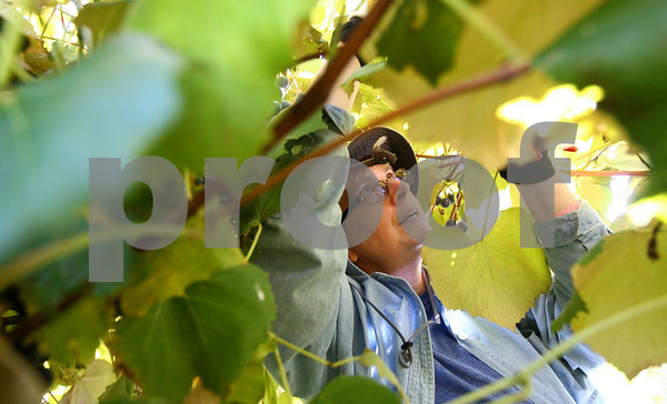 Kyle Bursaw – kbursaw@shawmedia.com<br /> <br /> Carolyn Nelson, a seasonal worker at Waterman Winery, picks some of the harder to reach concord grapes underneath the vines on Monday, Sept. 10, 2012. Waterman Winery owners say that hot and dry weather from the summer drought may lead to more concentrated grapes and better-than-usual wine, but they wont know for sure until the wine is completed more than a year from now.