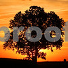 Kyle Bursaw – kbursaw@shawmedia.com<br /> <br /> A tree seen from Somonauk Road stands against the setting sun on Wednesday, Sept. 12, 2012.