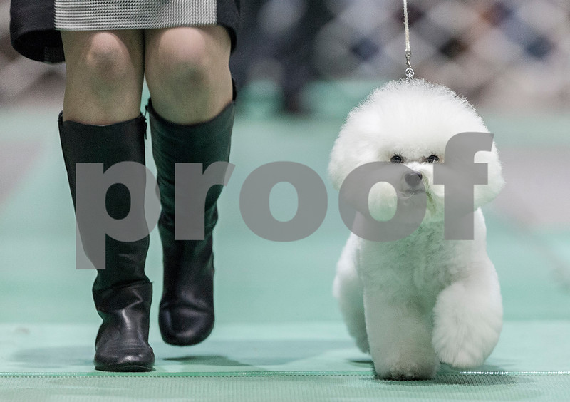 """Erik Anderson - For the Daily Chronicle <br /> Lisa Bettis of Goshen, IN, trots her Bichon-Frise known as """"Vogel Flights, Honor to Pillow Talk,"""" during the Non-Sporting group at the Kennel Club of Yorkville - Dog Show at the NIU Convocation Center in DeKalb on Saturday, April 6, 2013. Bettis would go on to win second place in the competition."""