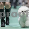 "Erik Anderson - For the Daily Chronicle <br /> Lisa Bettis of Goshen, IN, trots her Bichon-Frise known as ""Vogel Flights, Honor to Pillow Talk,"" during the Non-Sporting group at the Kennel Club of Yorkville - Dog Show at the NIU Convocation Center in DeKalb on Saturday, April 6, 2013. Bettis would go on to win second place in the competition."