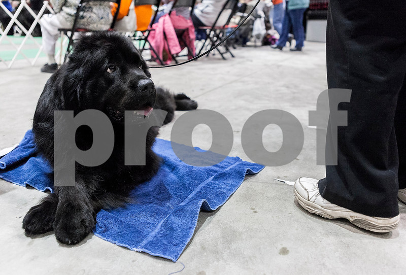 """Erik Anderson - For the Daily Chronicle <br /> Christine Brigham's Newfoundland, known as """"VN CH BlueMoon's Foreign Affair, CD WRD DD,"""" lays on the floor in between the Newfoundland showing while at the Kennel Club of Yorkville - Dog Show at the NIU Convocation Center in DeKalb on Saturday, April 6, 2013."""
