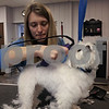 Carshon Hampton trims the hair off of Coco Chanel, a Maltese, in her Modern Mutt Spa that she co-owns.