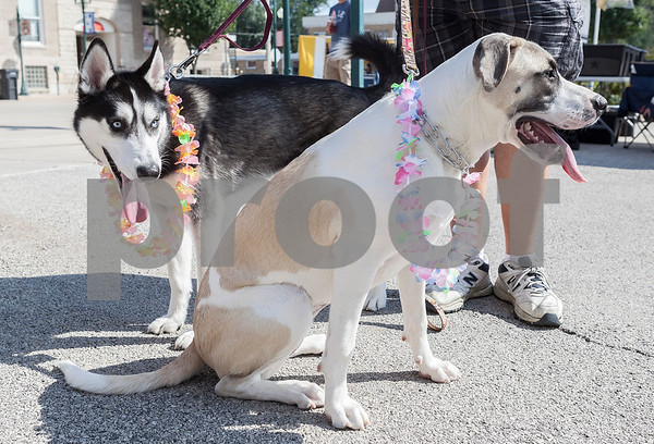 Erik Anderson - For the Daily Chronicle<br /> Bill Ballenger of Sycamore stands with his dogs Apollo, a Husky and Ava, a St. Bernard mix as they stare at fellow dogs during the block party at the intersection of Somonauk Street and Elm Street in downtown Sycamore on Saturday, August 24, 2013.