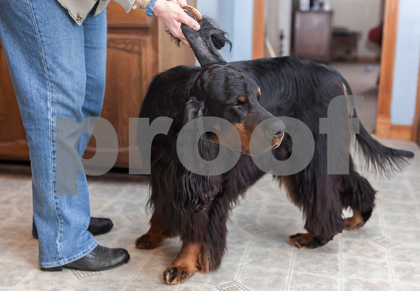 Erik Anderson - For the Daily Chronicle<br /> <br /> GCH CH Gunnin' for Gatlin, or his call name, Gatlin gets his long ears brushed prior to practicing his pose inside Lynn Kullman's house in Cortland on Friday, February 8, 2013. Gatlin was born a Gordon Setter on 7/18/2007 and has competed throughout his life in many events including the Westminster Dog Show in New York City at Madison Square Garden in which he will compete on Tuesday.
