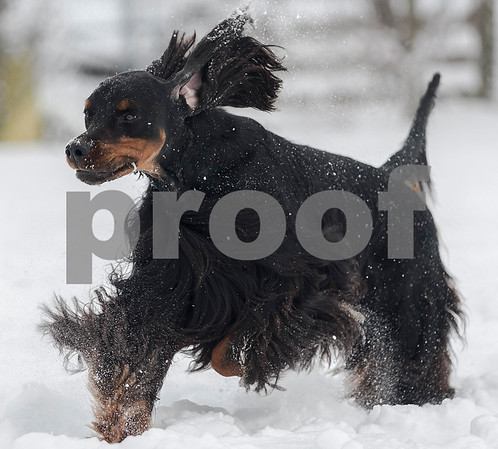 Erik Anderson - For the Daily Chronicle<br /> <br /> After his formal pose routine Gatlin runs through the snow to owner Lynn Kullman in her backyard in Cortland on Friday, February 8, 2013.