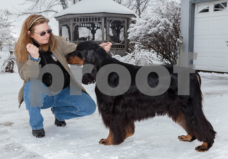 Erik Anderson - For the Daily Chronicle<br /> <br /> GCH CH Gunnin' for Gatlin, or his call name, Gatlin poses outside of Lynn Kullman's house for practice in Cortland on Friday, February 8, 2013. Gatlin was born a Gordon Setter on 7/18/2007 and has competed throughout his life in many events including the Westminster Dog Show in New York City at Madison Square Garden in which he will compete on Tuesday.