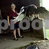 Rob Winner – rwinner@shawmedia.com<br /> <br /> Vinny, a 23-year-old turkey vulture, flies around his enclosure at Oaken Acres Wildlife Center in Sycamore, Ill., as Kathy Stelford watches on Thursday, June 27, 2013.